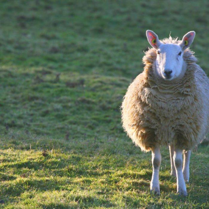 Feeling A Little Sheepish…